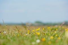 Feld der Butterblumeen Stockbild