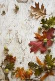 Feld der Eicheln u. des Falles verlässt auf rustikalem weißem Holz Lizenzfreies Stockbild