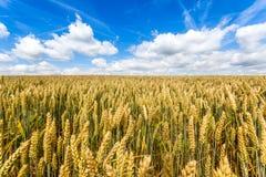 Feld der Ernte und des blauen Himmels Lizenzfreie Stockfotografie