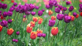 Feld der Frühlingsblumen stock footage