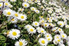 Feld der Gänseblümchen Stockfotografie