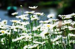 Feld der Gänseblümchen Stockbild