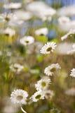 Feld der Gänseblümchen Stockfoto