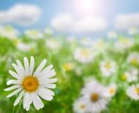 Feld der Gänseblümchenblumen Lizenzfreies Stockbild