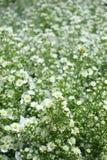 Feld der Gänseblümchenblumen Stockbild