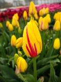 Feld der gelb-roten und purpurroten Tulpen Stockfoto