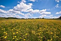 Feld der gelben Blumen Lizenzfreie Stockfotos