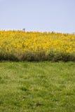 Feld der gelben Blumen Stockfotografie