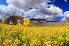 Feld der gelben Blumen und des Himmels Stockfotografie