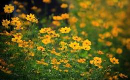 Feld der gelben Blumenwiese Lizenzfreies Stockfoto