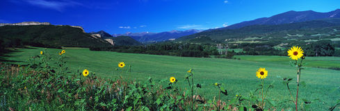 Feld der gelben Gänseblümchen Stockfoto