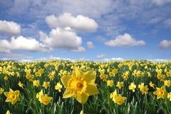Feld der gelben Narzissen Stockbilder