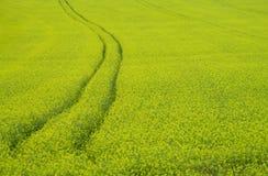 Feld der gelben Rapssamenlandwirtschaft Stockfoto