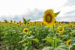 Feld der gelben Sonnenblumen Stockfotografie