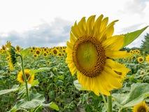 Feld der gelben Sonnenblumen Stockbild