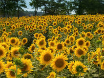 Feld der gelben Sonnenblumen Stockfotos