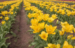 Feld der gelben Tulpen Lizenzfreie Stockfotos