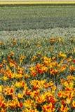 Feld der gelben und roten Tulpen Stockbild