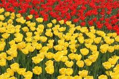 Feld der gelben und roten Tulpen Stockbilder