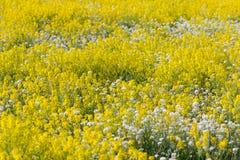 Feld der gelben und weißen Blumen Stockfotografie