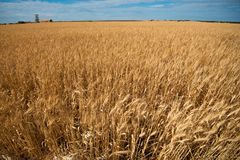Feld der Gerste bereit zur Ernte Stockfoto