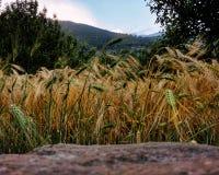 Feld der Gerste mit Bergen stockfotografie