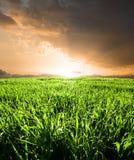 Feld der Getreide Stockbilder