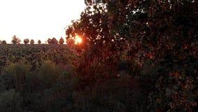 Feld der getrockneten Sonnenblume und des Baums stock video