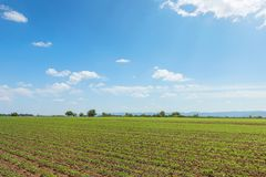 Feld der grünen Sojabohne, Reihen von jungen grünen Sojabohnen landwirtschaftlich Lizenzfreie Stockfotografie
