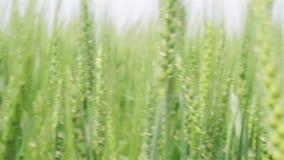 Feld der grünen Weizennahaufnahme stock footage