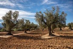 Feld der Gruppe Olivenbäume lizenzfreie stockfotos