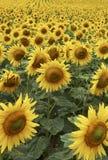 Feld der halben Methode der Sonnenblumen durch Lebenszyklus Lizenzfreies Stockbild