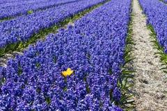 Feld der Hyazintheblumen Lizenzfreie Stockfotos