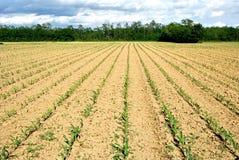 Feld der jungen Maispflanzen stockfoto