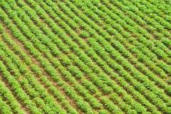 Feld der Kartoffel Stockfoto