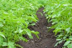 Feld der Kartoffel lizenzfreies stockfoto