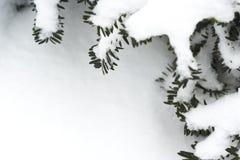 Feld der Kieferzweige mit Schnee Stockbilder