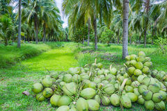 Feld der Kokosnussbäume Lizenzfreies Stockfoto