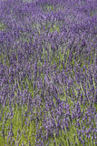 Feld der Lavendelblumen Lizenzfreies Stockfoto