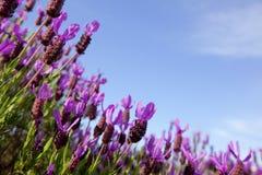 Feld der Lavendelblumen gegen blauen Himmel lizenzfreies stockbild