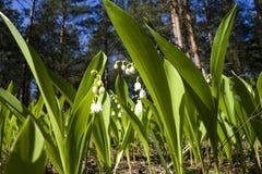 Feld der Lilien des Tales Stockfotos