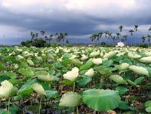 Feld der Lotos-Blumen Stockbild