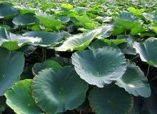 Feld der Lotos-Blumen stockfotografie