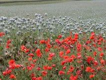 Feld der Mohnblume Stockfoto