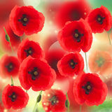 Feld der Mohnblume-Blumen Lizenzfreies Stockfoto