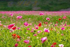 Feld der Mohnblume-Blumen Stockbilder