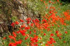 Feld der Mohnblume mit Felsen im Hintergrund lizenzfreie stockfotografie