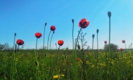 Feld der Mohnblumen Stockbilder