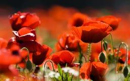 Feld der Mohnblumen Stockfotografie