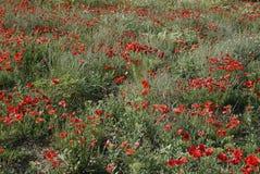 Feld der Mohnblumen Lizenzfreies Stockfoto